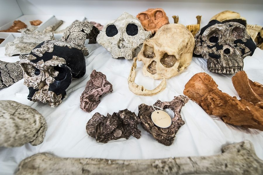 plaster- and resin-cast bones and skulls of hominins
