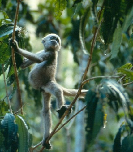 infant muriqui monkey