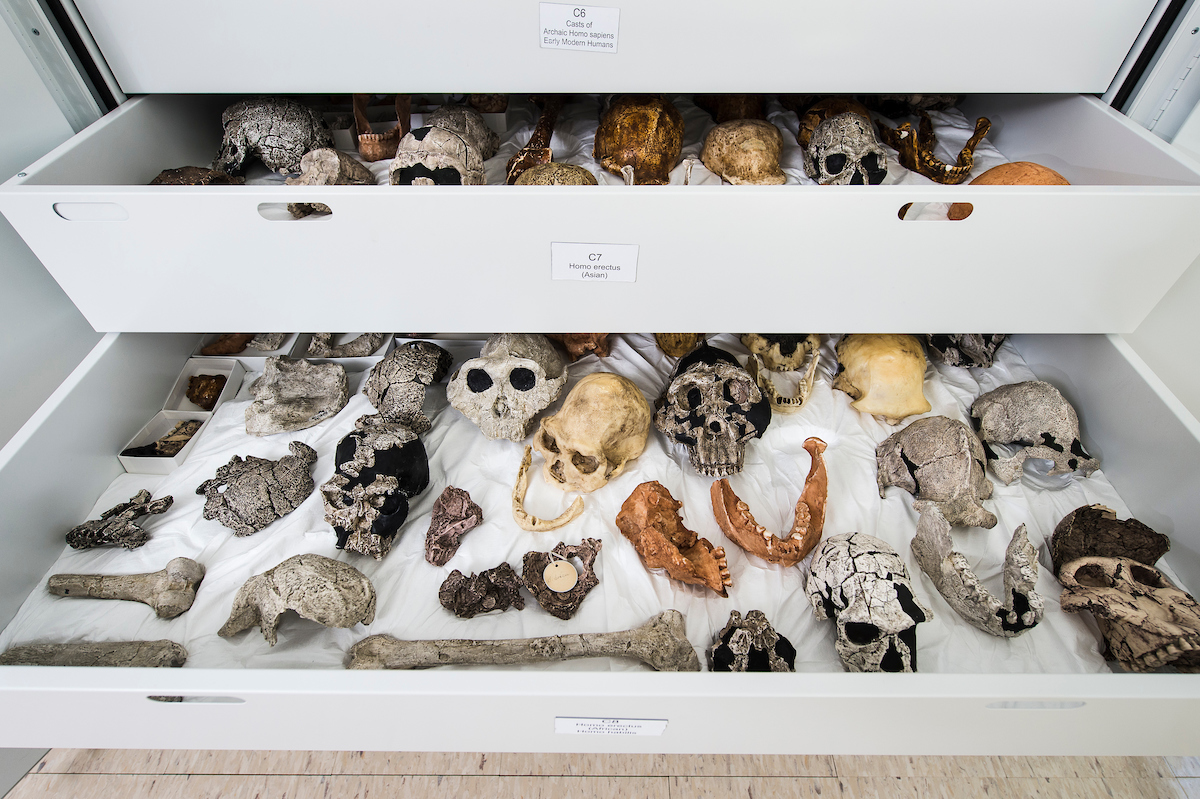 Used as a resource for teaching anthropology classes, drawers of plaster- and resin-cast bones and skulls are pictured in the Biological Anthropology Lab in Sewell Social Sciences building at the University of Wisconsin-Madison on March 31, 2015. Many of the fossil specimens are from hominins who lived 1 to 2 million years ago during the early Pleistocene period in Africa and West Asia. (Photo by Jeff Miller/UW-Madison)