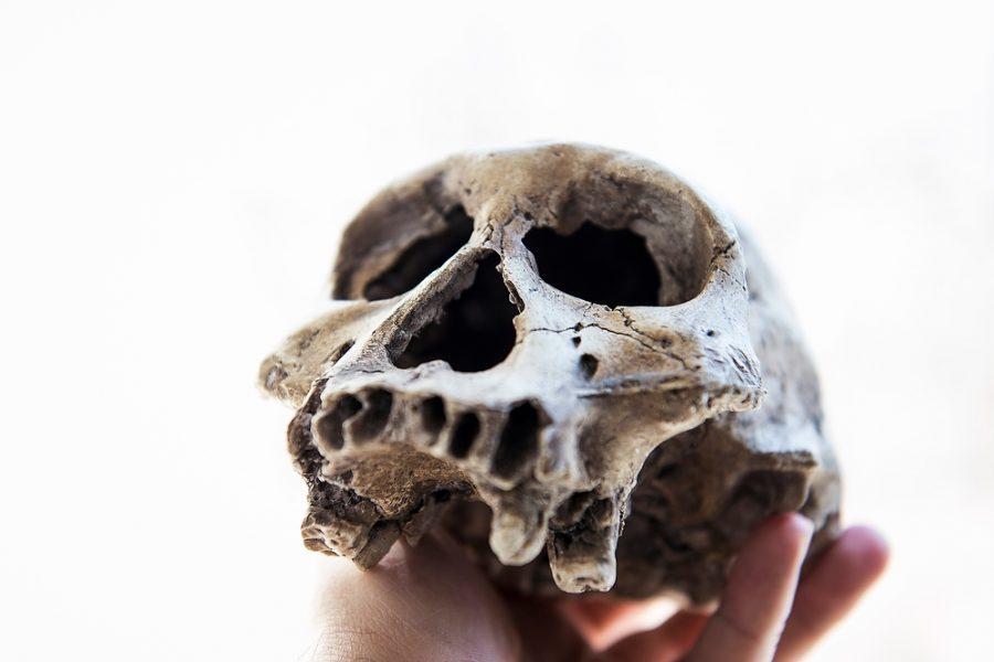 Plastic cast of Homo erectus skull